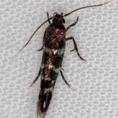 Stagmatophora argyrostrepta (A cosmet moth) at Melba, ACT - 15 Oct 2020 by Bron