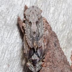 Stenocotis depressa (Gum bark leafhopper) at Downer, ACT - 11 Jun 2021 by Roger