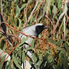 Coracina novaehollandiae (Black-faced Cuckooshrike) at Kambah, ACT - 6 Jun 2021 by MatthewFrawley
