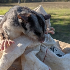 Petaurus norfolcensis (Squirrel Glider) at Wodonga by DMeco