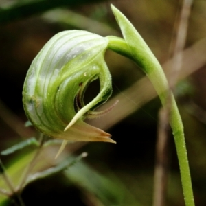 Pterostylis nutans (Nodding greenhood) at suppressed by Snowflake