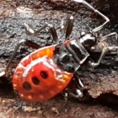 Dindymus versicolor (Harlequin Bug) at Denman Prospect, ACT - 12 Jun 2021 by tpreston