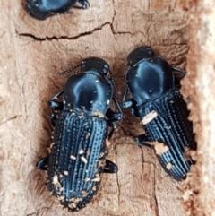 Unidentified Darkling beetle (Tenebrionidae) (TBC) at Denman Prospect, ACT - 12 Jun 2021 by tpreston