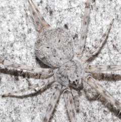 Tamopsis sp. (genus) (Two-tailed spider) at Downer, ACT - 11 Jun 2021 by TimL