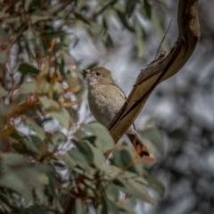 Pachycephala pectoralis (Golden Whistler) at Bango, NSW - 12 Jun 2021 by trevsci