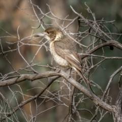 Cracticus torquatus (Grey Butcherbird) at Bango, NSW - 12 Jun 2021 by trevsci
