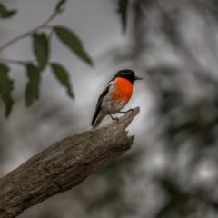 Petroica boodang (Scarlet Robin) at Bango Nature Reserve - 12 Jun 2021 by trevsci