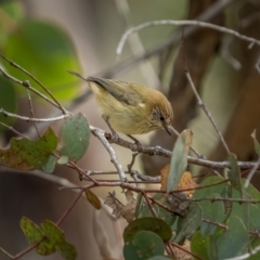 Acanthiza lineata (Striated Thornbill) at Bango Nature Reserve - 12 Jun 2021 by trevsci