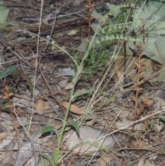 Cynoglossum australe (Australian Forget-me-not) at Conder, ACT - 30 Mar 2021 by michaelb