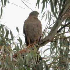 Accipiter cirrocephalus (Collared Sparrowhawk) at Wodonga, VIC - 13 Jun 2021 by Kyliegw