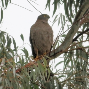Accipiter cirrocephalus (Collared Sparrowhawk) at Wodonga by Kyliegw