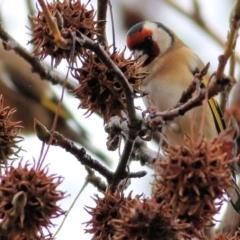 Carduelis carduelis (European Goldfinch) at - 13 Jun 2021 by Kyliegw