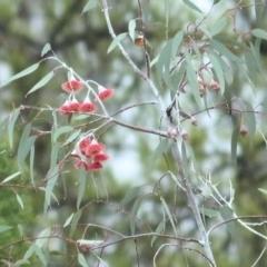 Unidentified Gum Tree (TBC) at Wodonga, VIC - 13 Jun 2021 by Kyliegw