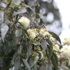 Corymbia maculata (TBC) at Wodonga, VIC - 13 Jun 2021 by Kyliegw