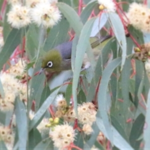 Zosterops lateralis (Silvereye) at Les Stone Park by Kyliegw