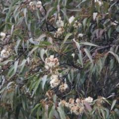 Corymbia maculata (TBC) at - 13 Jun 2021 by Kyliegw