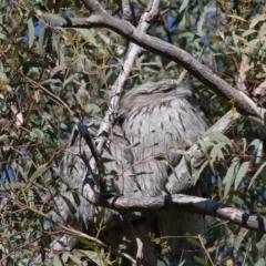 Podargus strigoides (Tawny Frogmouth) at Acton, ACT - 13 Jun 2021 by TimL