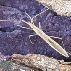 Mutusca brevicornis (A broad-headed bug) at Latham, ACT - 13 Jun 2021 by tpreston