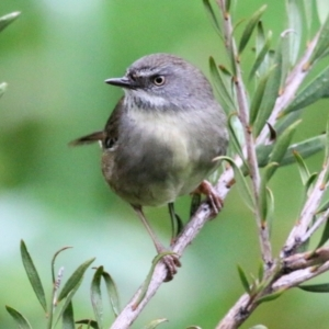 Sericornis frontalis (White-browed Scrubwren) at Les Stone Park by Kyliegw