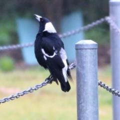 Gymnorhina tibicen (Australian Magpie) at Wodonga, VIC - 12 Jun 2021 by Kyliegw