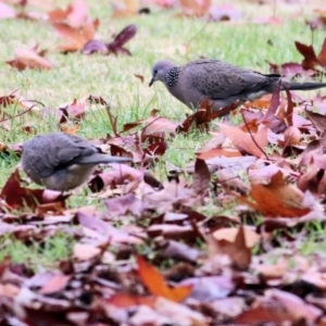 Streptopelia chinensis (Spotted Dove) at Wodonga by Kyliegw