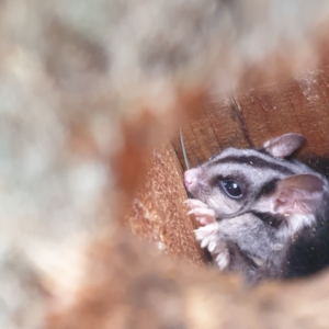 Petaurus norfolcensis (Squirrel Glider) at Trinity Anglican College (Thurgoona Campus) by Waynergy
