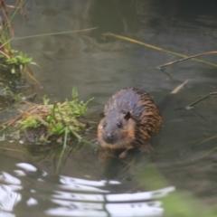 Hydromys chrysogaster (Rakali Or Water Rat) at - 13 Jun 2021 by Rixon
