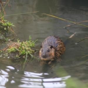 Hydromys chrysogaster (Rakali Or Water Rat) at Horseshoe Lagoon and West Albury Wetlands by Rixon