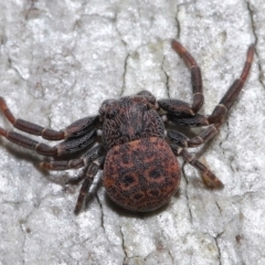 Cymbacha ocellata (Facemask crab spider) at Acton, ACT - 13 Jun 2021 by TimL