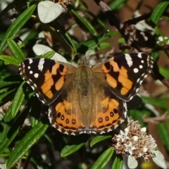 Vanessa kershawi (Australian Painted Lady) at Acton, ACT - 16 Apr 2021 by JanetRussell