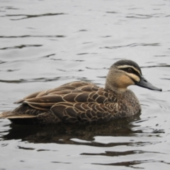 Anas superciliosa (Pacific Black Duck) at Jerrabomberra Wetlands - 12 Jun 2021 by MatthewFrawley