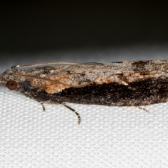 Strepsicrates infensa (A Tortricid moth) at Melba, ACT - 13 Oct 2020 by Bron