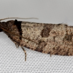 Rupicolana orthias (A tortrix or leafroller moth) at Melba, ACT - 13 Oct 2020 by Bron