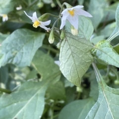 Solanum chenopodioides (Whitetip Nightshade) at Majura, ACT - 13 Jun 2021 by JaneR