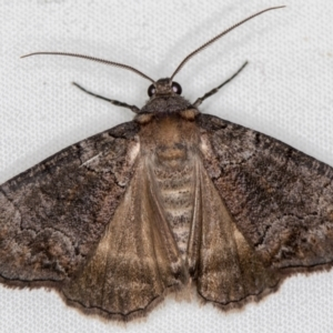 Dysbatus undescribed species (TBC) at suppressed by Bron