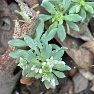 Poranthera microphylla (Poranthera) at Kowen Escarpment by JaneR