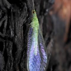 Mallada traviatus (Goldeneye Lacewing) at Acton, ACT - 10 Jun 2021 by TimL