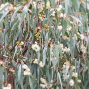 Eucalyptus melliodora (TBC) at suppressed by Kyliegw