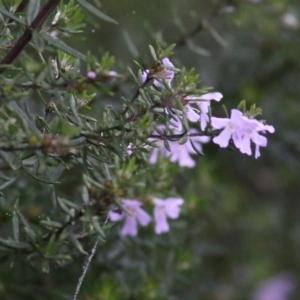 Westringia eremicola (Slender Westringia) at Les Stone Park by Kyliegw