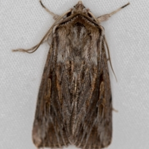 Persectania ewingii (TBC) at suppressed by Bron