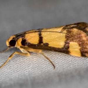 Deuterarcha xanthomela (TBC) at suppressed by Bron