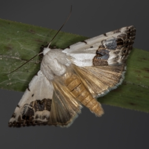 Armactica conchidia (TBC) at suppressed by Bron
