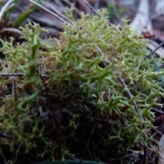 Cladia aggregata (A lichen) at Boro, NSW - 12 Jun 2021 by Paul4K