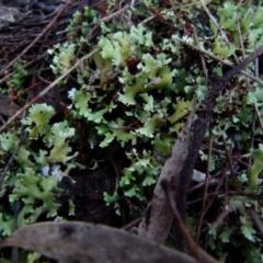 Heterodea sp. (A lichen) at Boro, NSW - 12 Jun 2021 by Paul4K