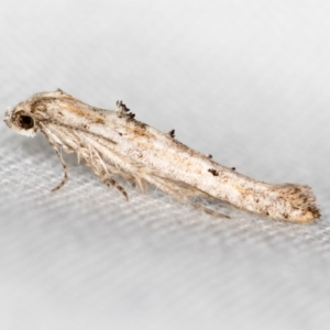 Leptozestis and Trachydora (genera) (TBC) at suppressed by Bron