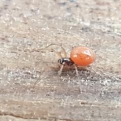 Ostearius melanopygius (A sheet web or money spider) at Coree, ACT - 14 Jun 2021 by tpreston