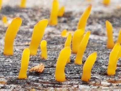 Calocera sp. (A stagshorn fungus) at Cotter River, ACT - 14 Jun 2021 by tpreston