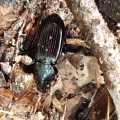 Notonomus sp. (genus) (Carab beetle) at Coree, ACT - 14 Jun 2021 by tpreston