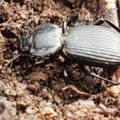 Cardiothorax monarensis (Darkling beetle) at Cotter River, ACT - 14 Jun 2021 by tpreston
