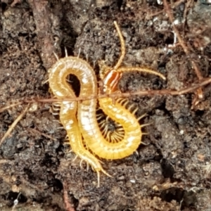 Geophilomorpha sp. (order) (Earth or soil centipede) at Lower Cotter Catchment by tpreston